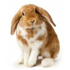 "Кролик ""Французский баран"""