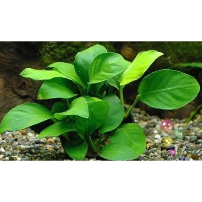 Маленькое декоративное растение в аквариум